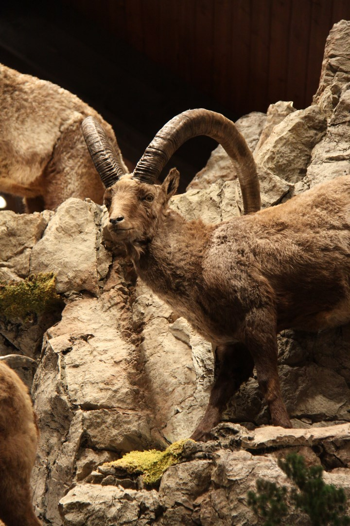 Ibex Goat Sheep/Ibex/Goat...
