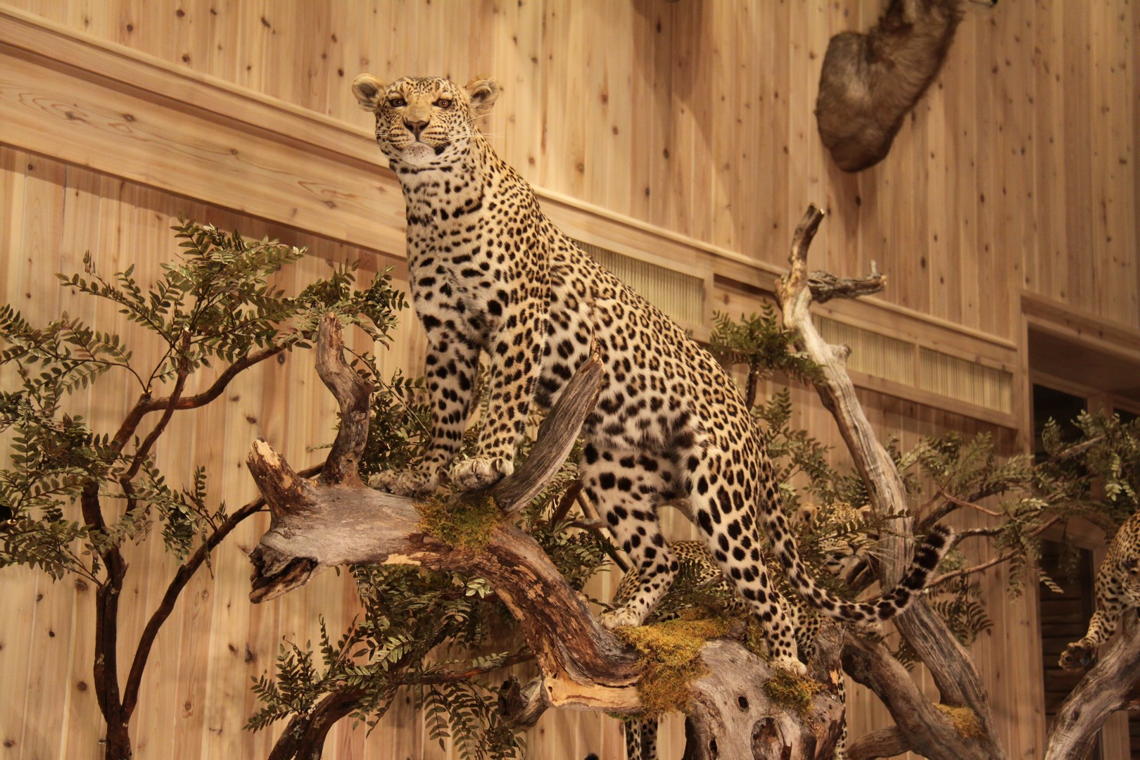 African Cats Conroetaxidermy